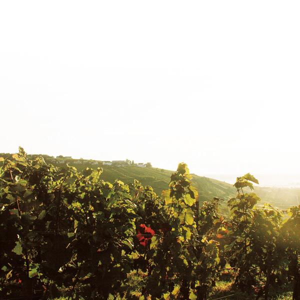 Sonnenuntergang mit Weinreben im Vordergrund