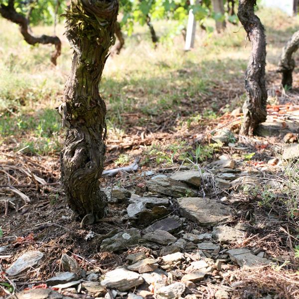 Stamm einer Weinrebe auf steinigem Boden