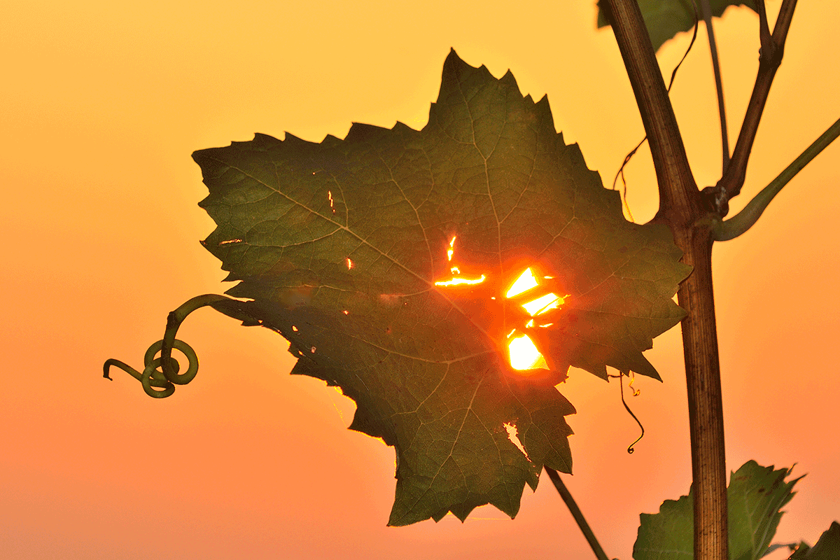 Weintraubenblatt