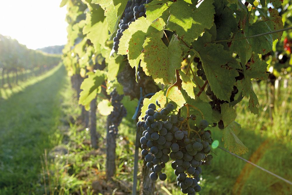 Weintrauben am Weinstock bei Sonnenuntergang
