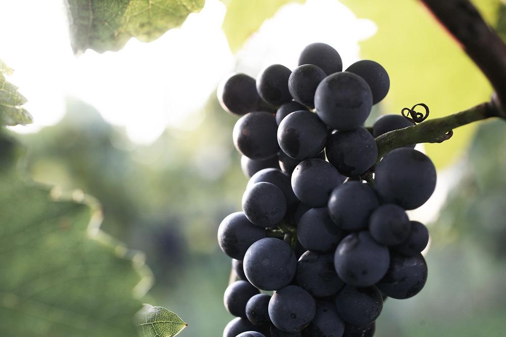 Nahaufnahme von Weintrauben
